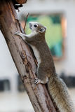 Brown squirrel with white belly climbing up a tree Royalty Free Stock Photos