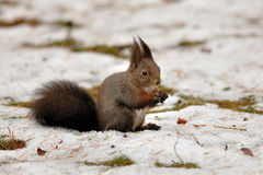 Brown squirrel in winter. On the snow Stock Photo