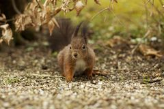 Brown squirrel in the woods. With brown leaves and a carpet of little stones. Blurred background and foreground Stock Images