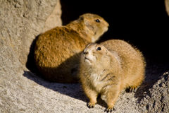 Brown squirrels in the cave Royalty Free Stock Images
