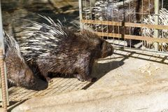 Brown-Stachelschwein am offenen Käfigtor stockbild