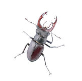 Brown stag beetle Stock Photos