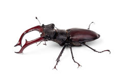 Brown stag beetle Lucanus cervus. The largest european beetle isolated on white Stock Image