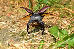 Brown Stag Beetle. In the Nature Royalty Free Stock Photography