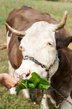 Brown stained cow eating grass from the farmer's hand on a green mead Stock Image