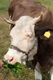 Brown stained cow eating grass from the farmer's hand on a green mead Stock Images