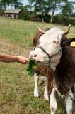Brown stained cow eating grass the farmer's hand on a green mead Royalty Free Stock Photography