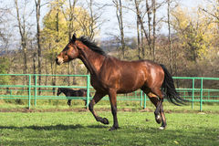 Brown stallion Stock Image
