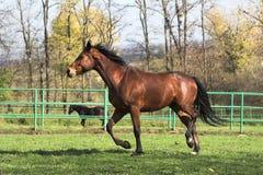 Brown stallion stock image