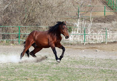 Brown stallion Stock Photography