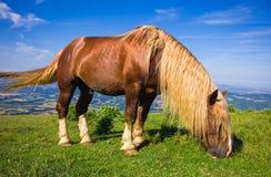 Brown Stallion Royalty Free Stock Photo