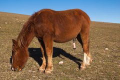 Brown stallion with big penis at pasture. Royalty Free Stock Image