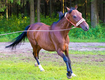 Brown stallion horse running with lead Royalty Free Stock Photos