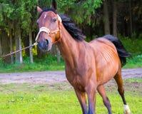 Brown stallion horse running Stock Image