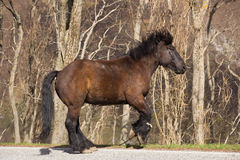 Brown stallion Royalty Free Stock Photography