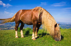Brown stallion Royalty Free Stock Photo
