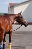 Brown stallion. Portrait of a sports brown horse. Royalty Free Stock Photography