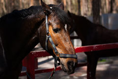 Brown stallion. Portrait of a sports brown horse. Brown stallion Portrait of a sports brown horse Riding Thoroughbred. Beautiful royalty free stock photography
