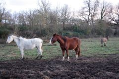 A brown stallion, with a white spot on the snout, and a white horse photographed together. Photograph taken at sunset. royalty free stock photography