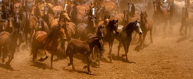 The Brown stallions Stock Photo