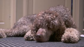 Poodle lying on the carpet