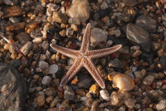Brown starfish on a sand beach Royalty Free Stock Images