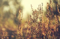 Brown stems, seeds and flowers on blurred background. Wild grass in sunset light Stock Images