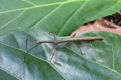 Brown stick bug aka Gray`s Malaysian stick insect. A large brown stick insect walks on a plant in the jungle stock images