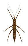 Brown stick insect with long feelers Stock Image