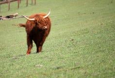 Brown-Stier auf Weide stockfotografie