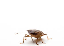 Brown Stink Bug Royalty Free Stock Images
