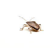 Brown Stink Bug Stock Photo