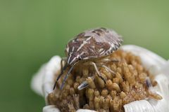 Brown Stink bug Stock Images