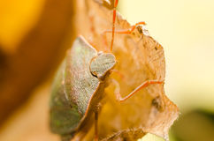 Brown Stink Bug Or Shield Bug Royalty Free Stock Photography