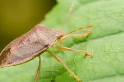 Brown Stink Bug Or Shield Bug stock photos