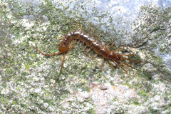Brown or stone centipede (Lithobius forficatus) hunting Stock Photography