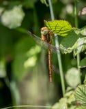 Brown-Straßenverkäufer Dragonfly Stockfotos
