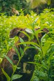 Mestizo brown dog hiding in the undergrowth stock image