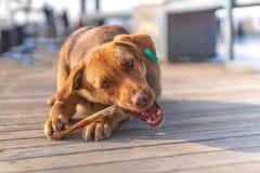 Brown stray dog eating bone in a sidewalk royalty free stock photo