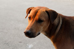 Brown Stray Dog (Look up). A stray dog on a road, looking to find a new home Stock Image