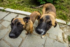 Stray dogs. Brown stray dogs puppets closeup in sunny day on alley royalty free stock photography