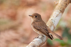 Brown-streaked Flycatcher Royalty Free Stock Image