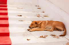 Brown Street Dogs Lying On The Stairs Of The Temple Royalty Free Stock Images