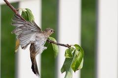 Brown streifte weiblichen Hausgimpel fliegt zu einer Stange stockfotografie