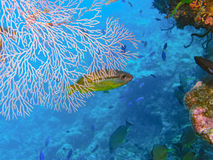 Brown-stripe Snapper, Great Barrier Reef, Australi Royalty Free Stock Images