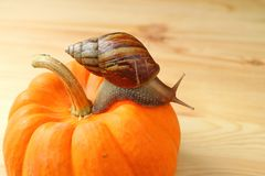 Brown Stripe Shell Snail Climbing the Vibrant Orange Color Pumpkin on Wooden Table Royalty Free Stock Photos