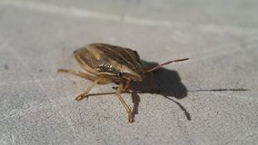 Brown striped bug. A brown striped bug moving a little stock footage