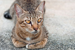 Brown Striped Cat gazing intensely. A brown striped cat lying on the floor gazing intensely on something Stock Photo