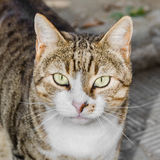 Brown striped domestic cat, green eyes Stock Photography