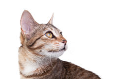 Brown Striped Kitten Close-up Royalty Free Stock Photos